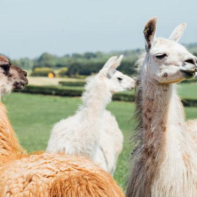 Llamas Ready