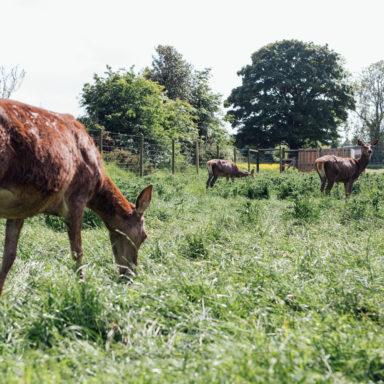 Llamas Grazing