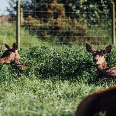 Llamas taking a Rest