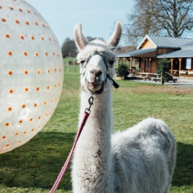 FFD   llama in front of zorbs