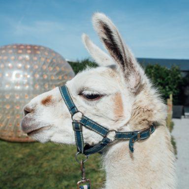 FFD   Zorb ball and Dec the llama