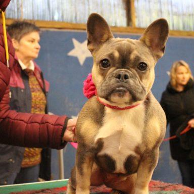 Lily French Bulldog